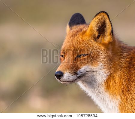 Sleepy Looking Red Fox
