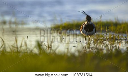 Northern Lapwing In The Early Morning Sun