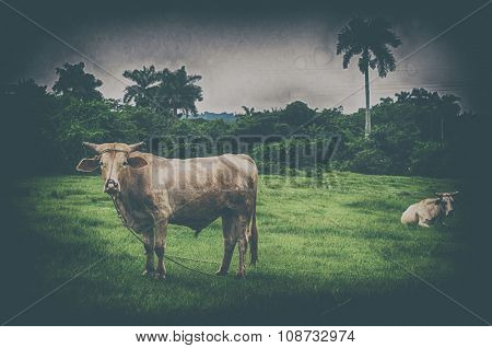 Cuban countryside landscape with cattle, taken in Pinar del Rio, Cuba