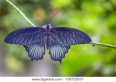Common rose (Pachliopta aristolochiae) a southeast asian butterfly aka Pink Rose