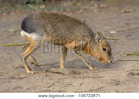 Patagonian Mara Looking For Food