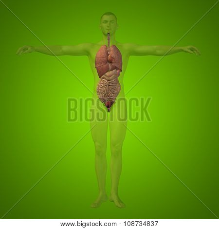 Concept conceptual 3D human man structure with internal organs,digestive,lungs and circulatory system on green background