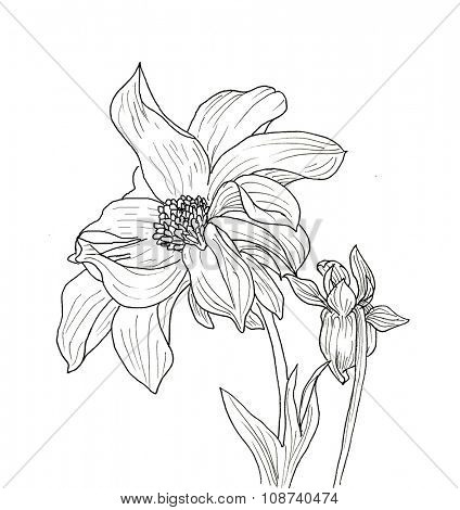 Line ink drawing of dahlia flower. Black contour on white background