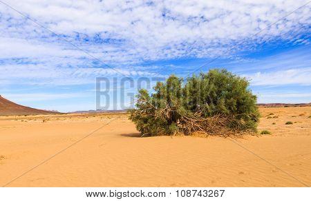 green shrub in the Sahara desert