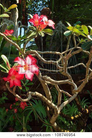 Desert Rose Or Impala Lily Or Mock Azalea Flower