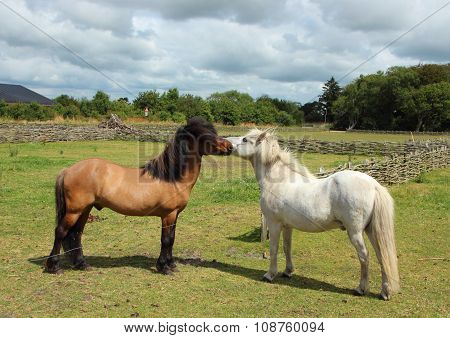 Two Horses Kissing In Green Grass Field