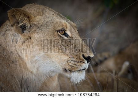 Female Lion At Dusk