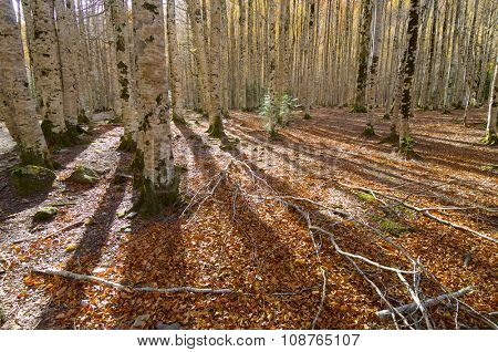 Trunks of a beech forest in autumn, Ordesa National Park, Pyrenees, Huesca, Aragon, Spain.