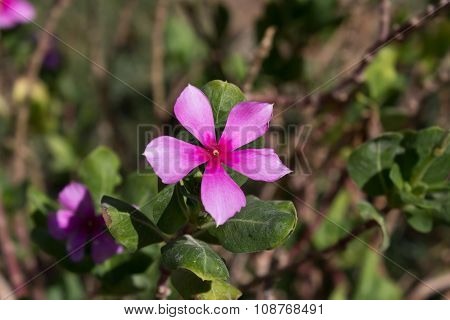 flowers catharanthus