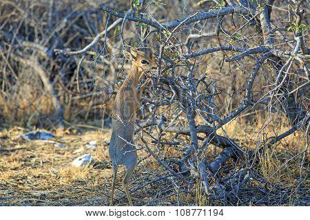 A steenbok on his hind legs feeding