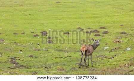 Young Deer On Meadow