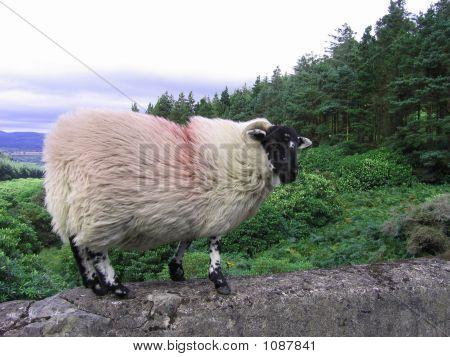 Irish Black-Faced Ram