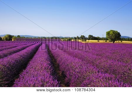 Lavender And Lonely Tree. Provence, France
