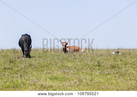 Cattle Animals Farming