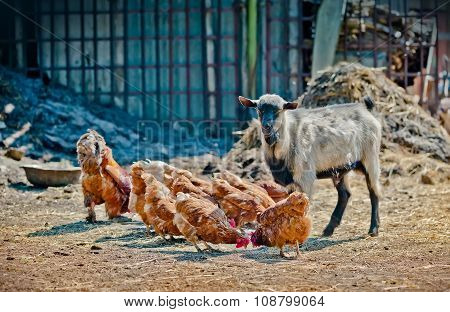 Farm Life - Goat And Chicken In The Stall