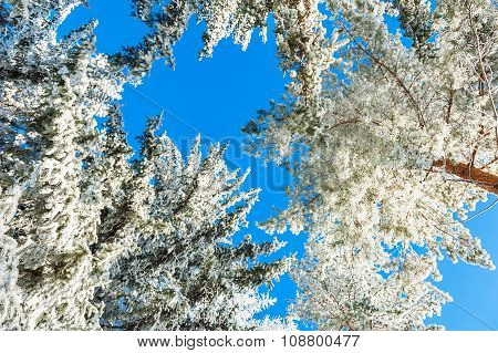 Pine Trees With Hoarfrost In Winter Forest Against The Blue Sky.