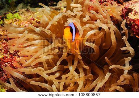 Clowfish IV