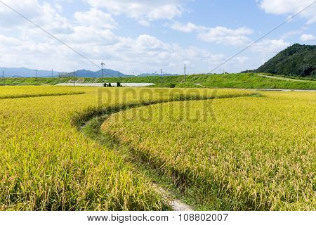 Walkway though Paddy rice field