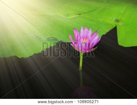 Beautiful Single Violet Water Lily Lotus Flower