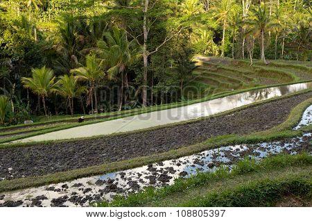 Rice Terraced Paddy Fields