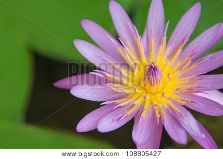 Beautiful Pink Waterlily Or Lotus Flower Isolate On White Background With Clipping Path