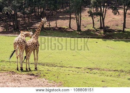 Giraffe Walhing