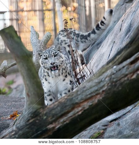 Snow Leopard In The Zoo