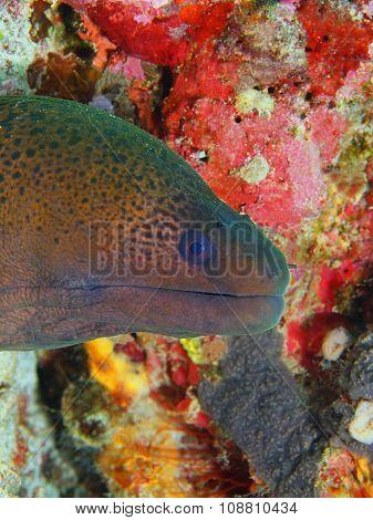 Moray eel, Island Bali, Pemuteran