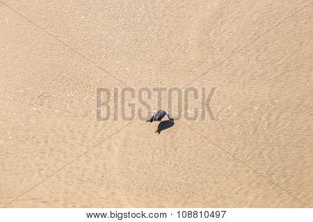 California Gull Walking At The Beach