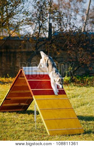 Husky in Dog agility, dog sport