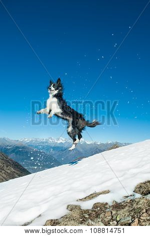 Border Collie Jumps In The Snow In The Top Of The Mountain
