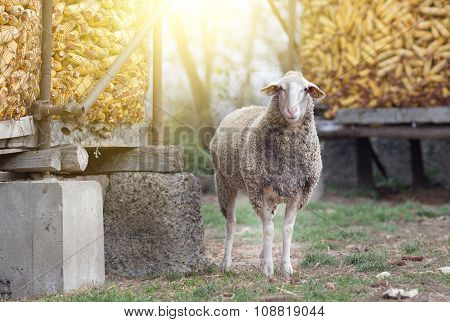 Sheep Standing On Farmland