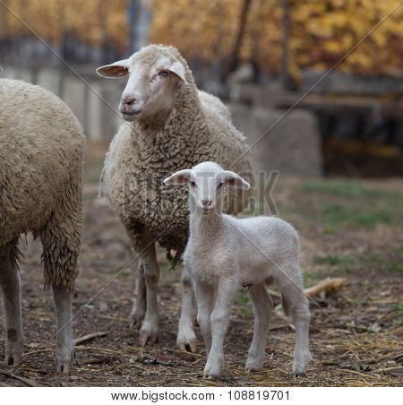 Lamb And Sheep On The Farm