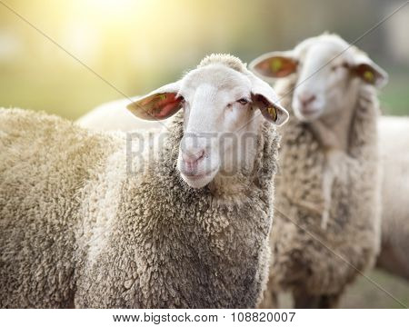 Two Sheep On Farm