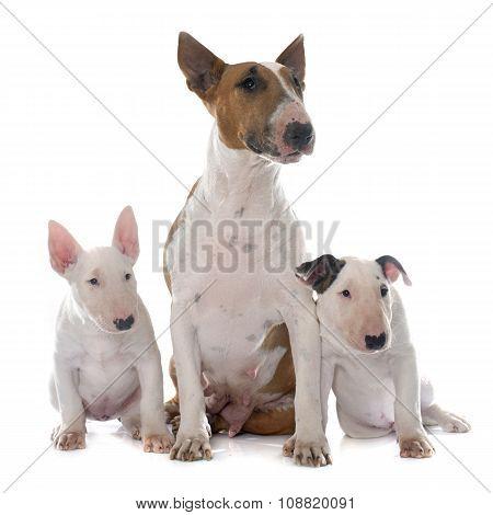 Family Bull Terrier