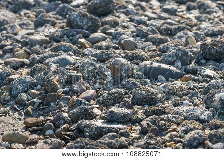 Stones Covered With Acorn Barnacles From Close