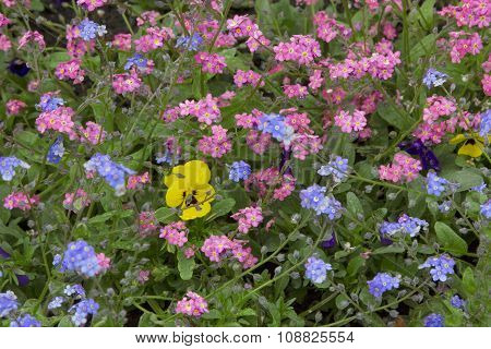 Pink And Light Blue Forgetmenots At Springtime
