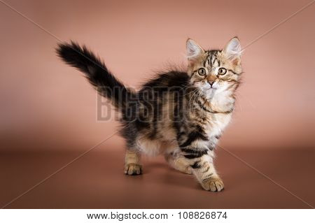 purebred Siberian cat on brown background