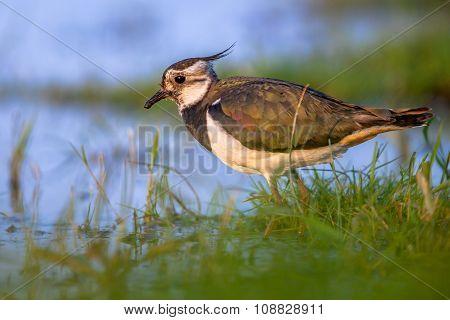Northern Lapwing En Profile