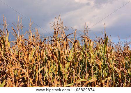 Corn Plant Background