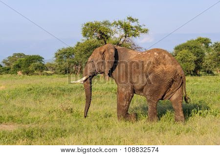 Elephant Bull In The Tarangire Park, Tanzania