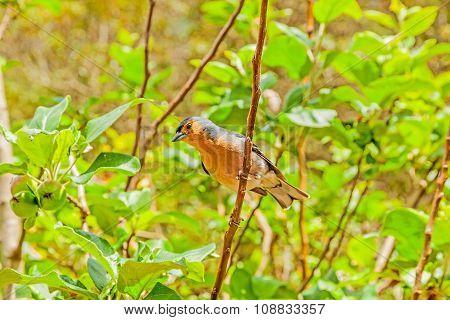 Madeiran Chaffinch