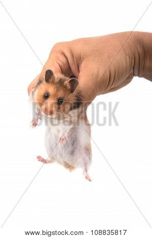 Hamster (syrian Hamster) In Hand On White Background