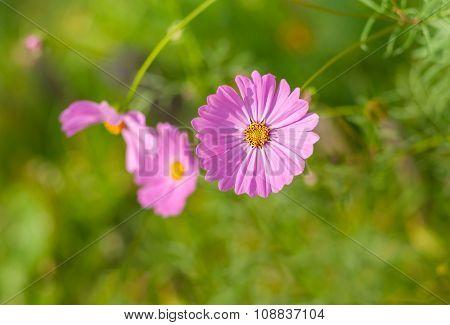 Beautiful world of Cosmos flower