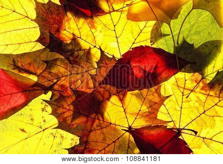 Closeup Of Colorful Autumn Leafs