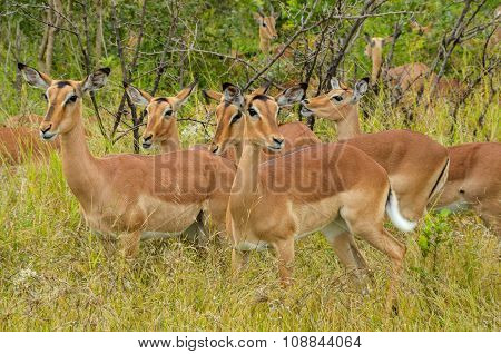 Impala antelopes crossing road in Kruger national park, animals of South Africa