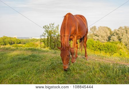 Horse grazing on a spring pasture