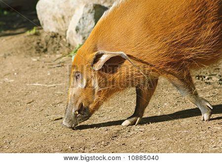 The Red River Hog Or Bush Pig