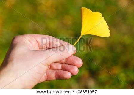 Hand Holding Autumn Leaf Of Ginkgo Biloba
