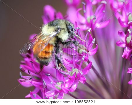 Orange-banded Bumblebee on Allium